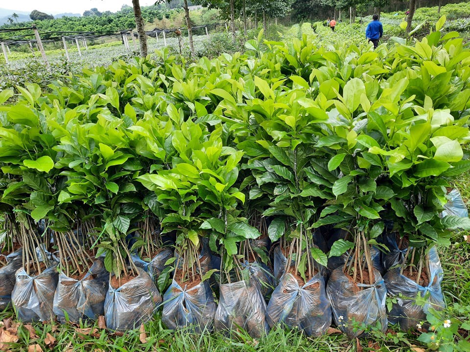 Cây giống Dổi Ghép – Hạt giống nông nghiệp